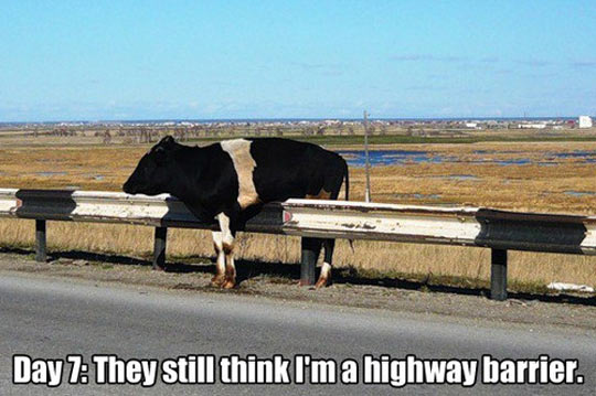 funny-cow-road-barrier-withe-black