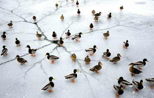 funny-ducks-thin-ice-winter-lake