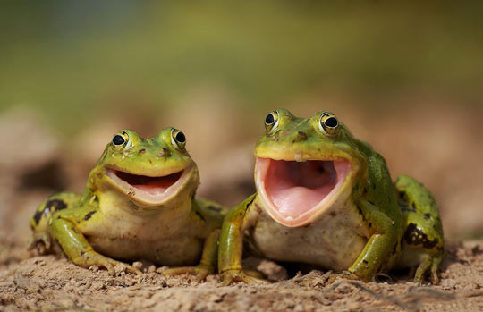 funny-frogs-smile-green-eyes