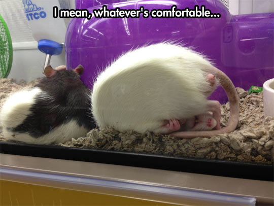 funny-rat-comfortable-sleep-tail