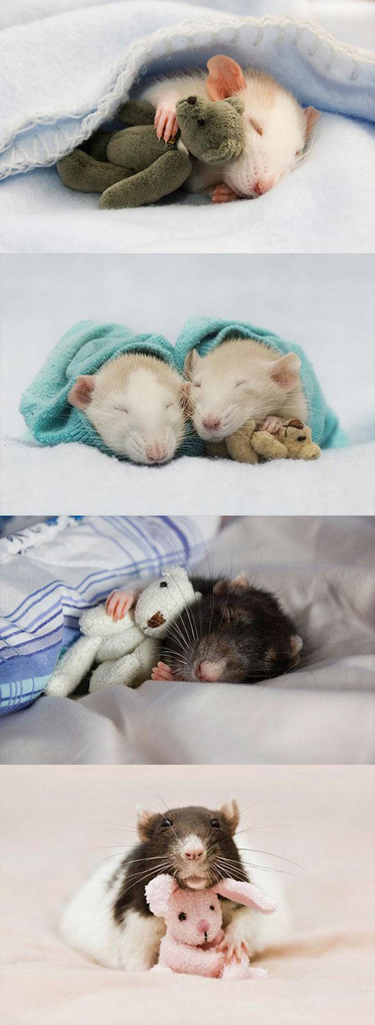 Rats with teddy bears...