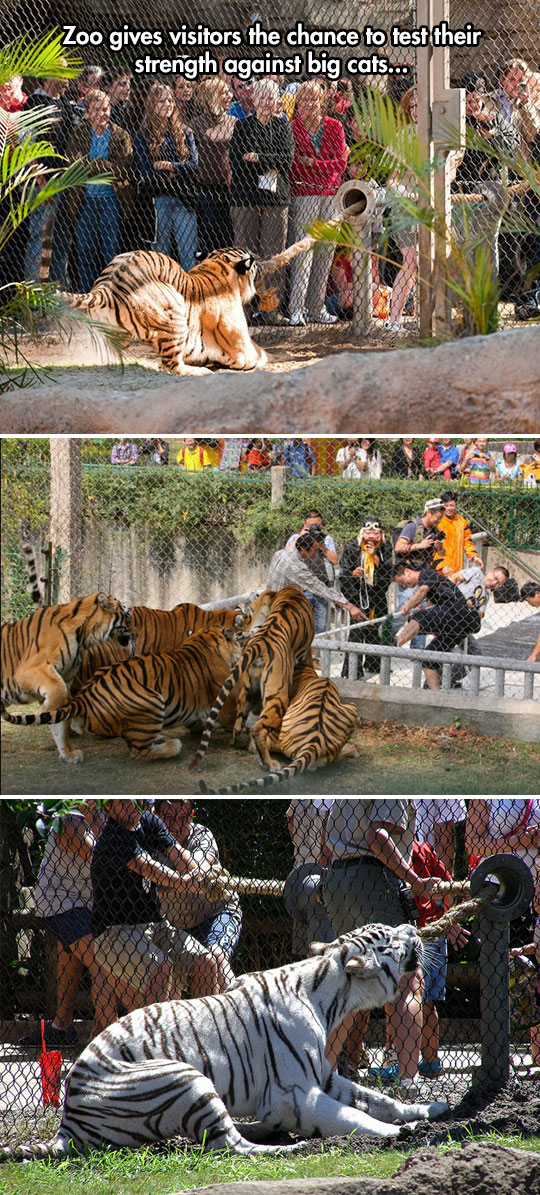 funny-tiger-zoo-cage-rope-game