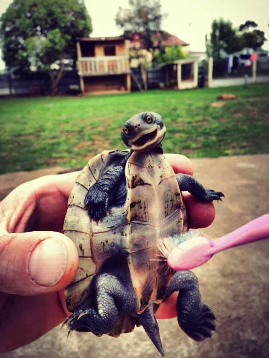funny-turtle-brush-happy-clean