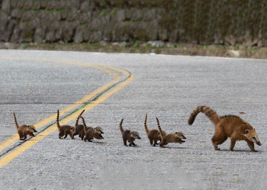 Cute Coati Family