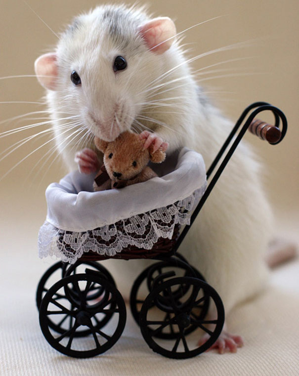 Rats-with-Teddy-Bears-13