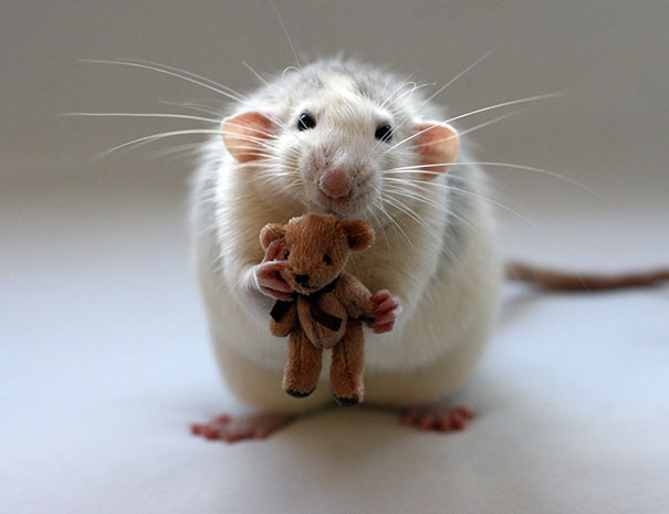 Rats-with-Teddy-Bears-14