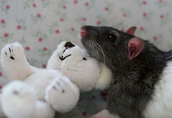 Rats-with-Teddy-Bears-19