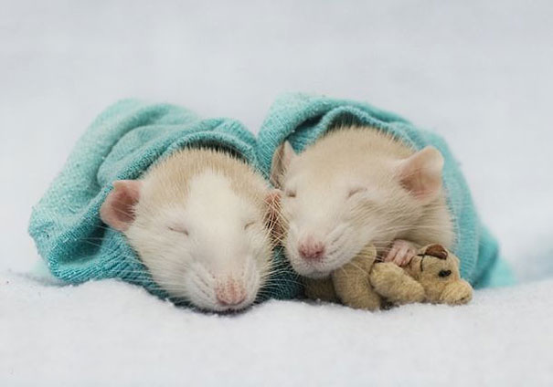 Rats-with-Teddy-Bears-2