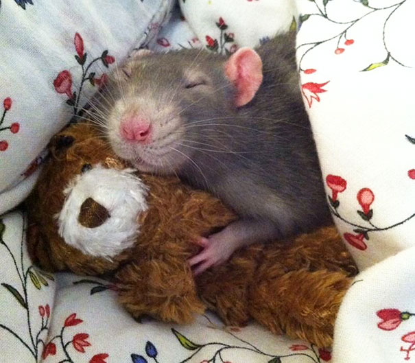Rats-with-Teddy-Bears-20
