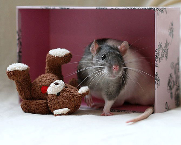Rats-with-Teddy-Bears-21