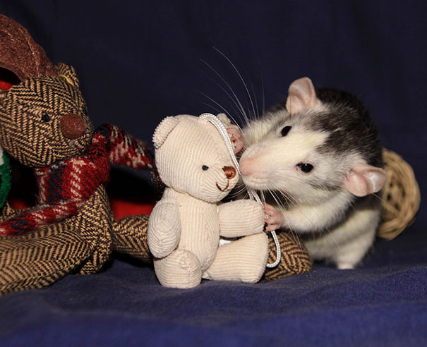 Rats-with-Teddy-Bears-22