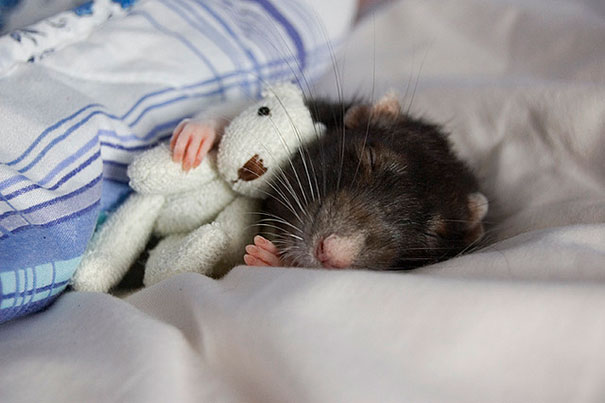 Rats-with-Teddy-Bears-3