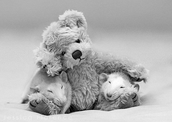 Rats-with-Teddy-Bears-9