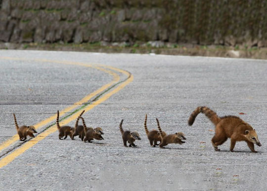 Cute Coati Family…