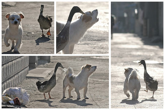 cute-funny-dog-duck-friends