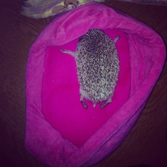 cute-hedgehog-sleeping-pink-bed-lovely