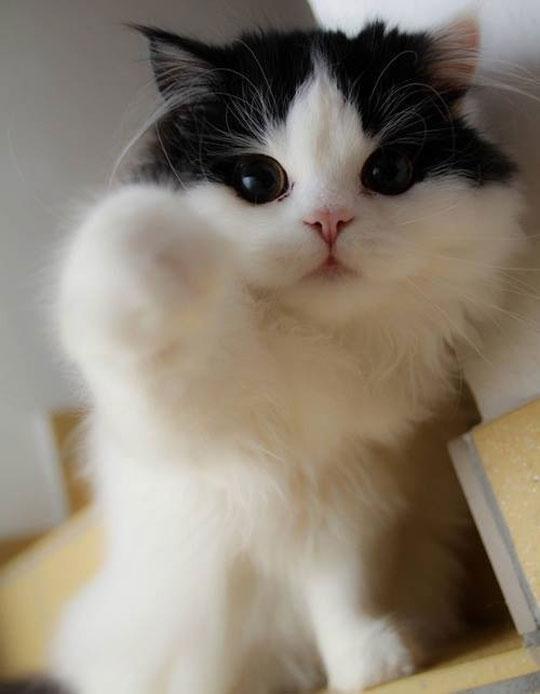 cute-kitty-eyes-fluffy-white