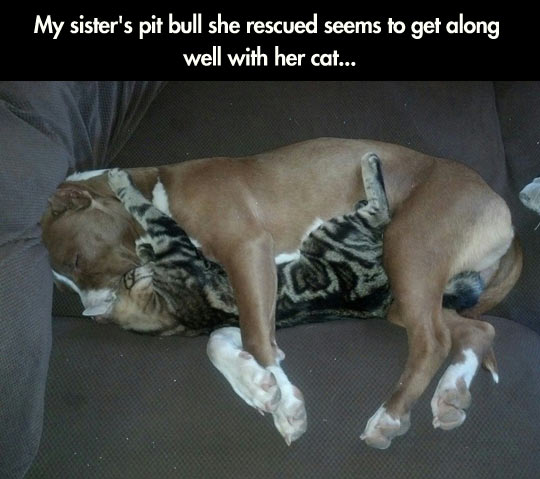 cute-pit-bull-cat-hug-couch