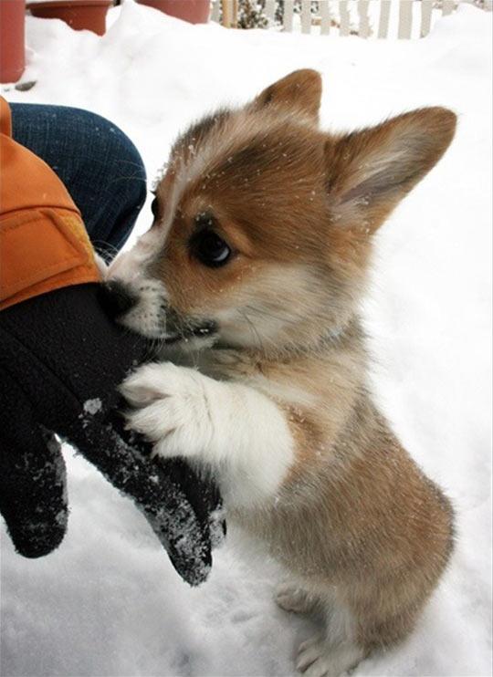 cute-puppy-corgi-snow-glove