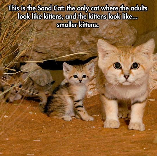 cute-sand-cat-adult-look-kitten