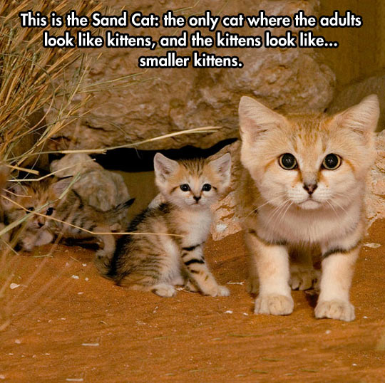 The Sand Cat…