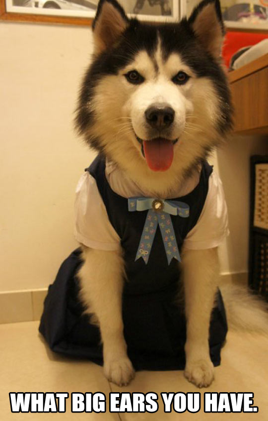 funny-Husky-costume-grandmother-dog