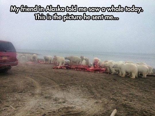 funny-Polar-bears-eating-whale-coast