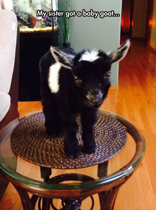 funny-baby-goat-pet-table