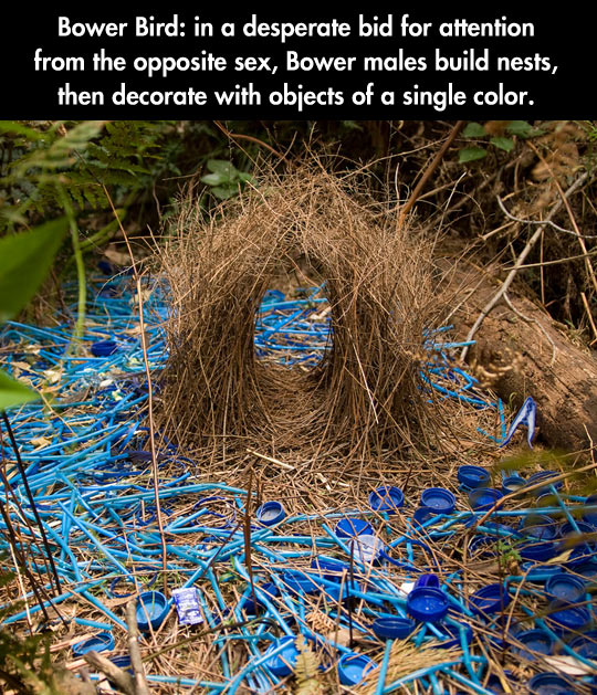 The bower bird doesn't want to be alone on Valentine's day…