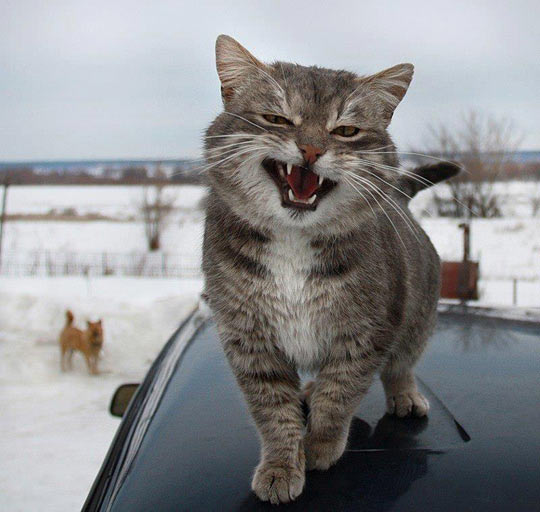 funny-cat-mad-face-showing-teeth