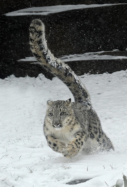 Snow leopard running…