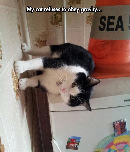 funny-cat-walking-wall-fridge-gravity