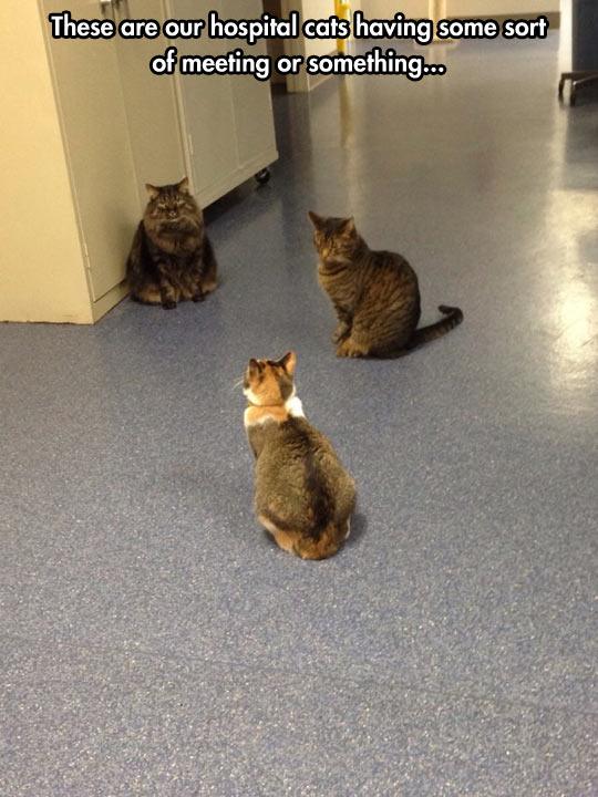 funny-cats-meeting-hospital-hall