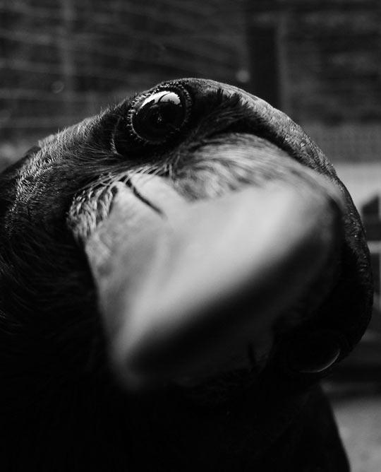funny-curious-crow-photo-macro