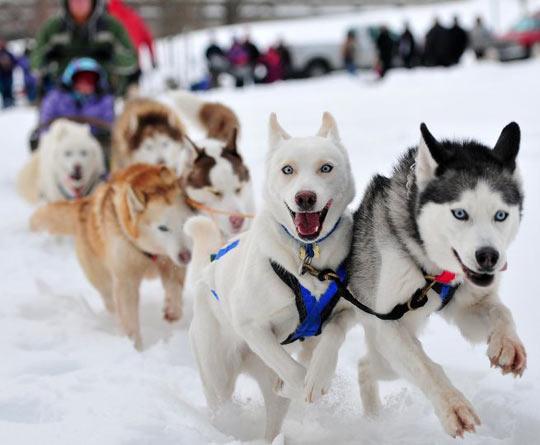 funny-dog-Husky-Siberian-happy