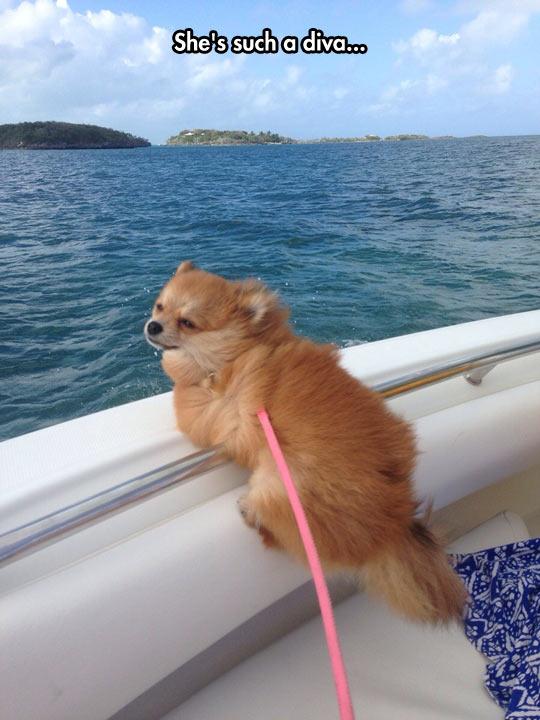 Stylish Pomeranian…