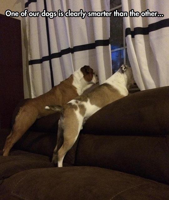funny-dog-sofa-window-watching