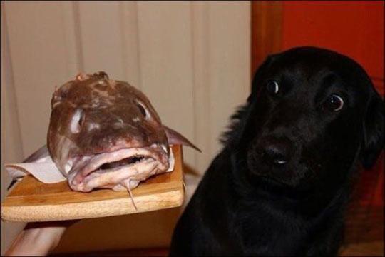funny-fish-face-dog-black