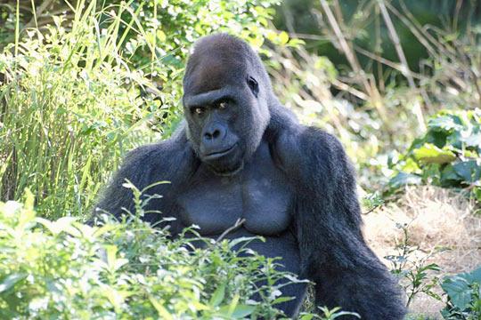 Ridiculously attractive gorilla…