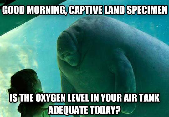 Captive manatee…