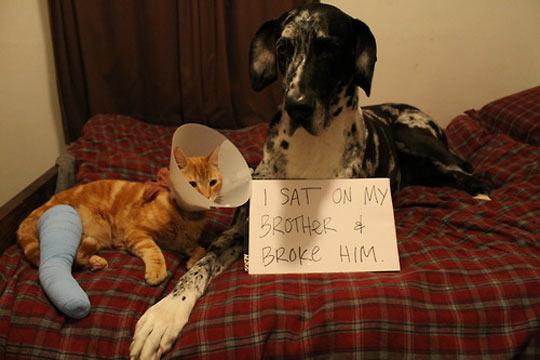 funny-orange-cat-giant-dog-accident-breaking