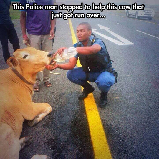 funny-police-cow-road-water