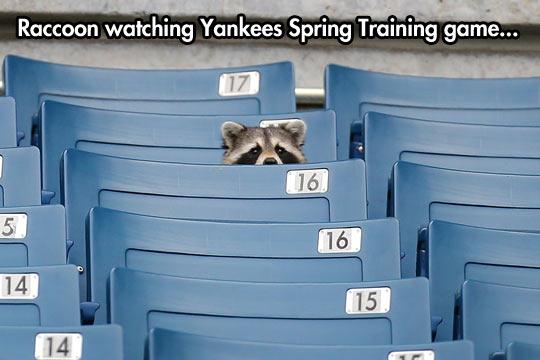 funny-raccoon-watching-Yankees-Spring-training