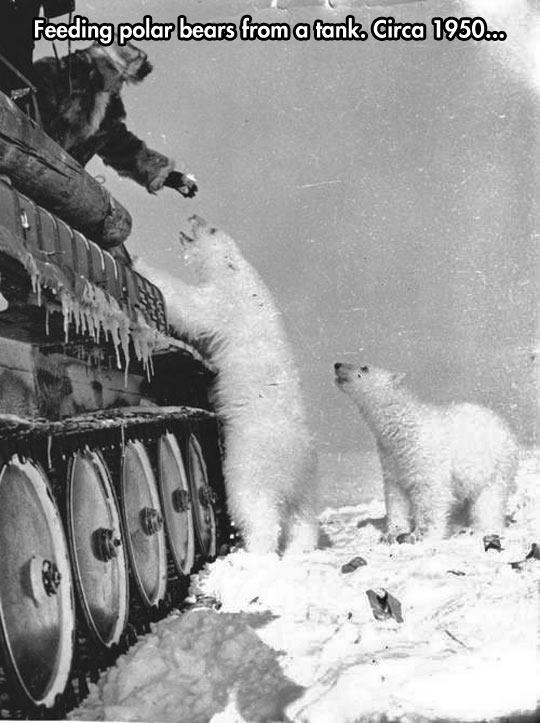 funny-snow-white-polar-bear-food