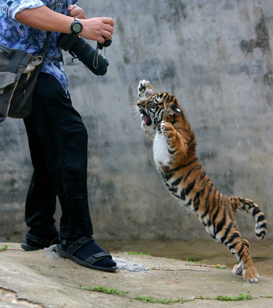 funny-tiger-little-photographer-camera-zoo