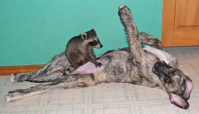 cool-animal-shelter-friendship-Rocky-Ridge-dog-raccoon