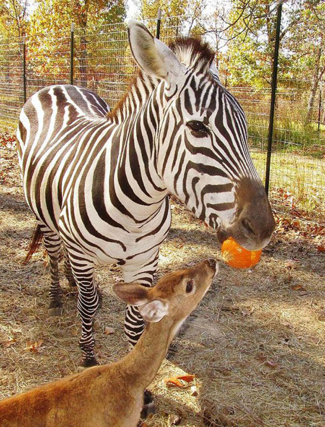 cool-animal-shelter-friendship-Rocky-Ridge-zebra