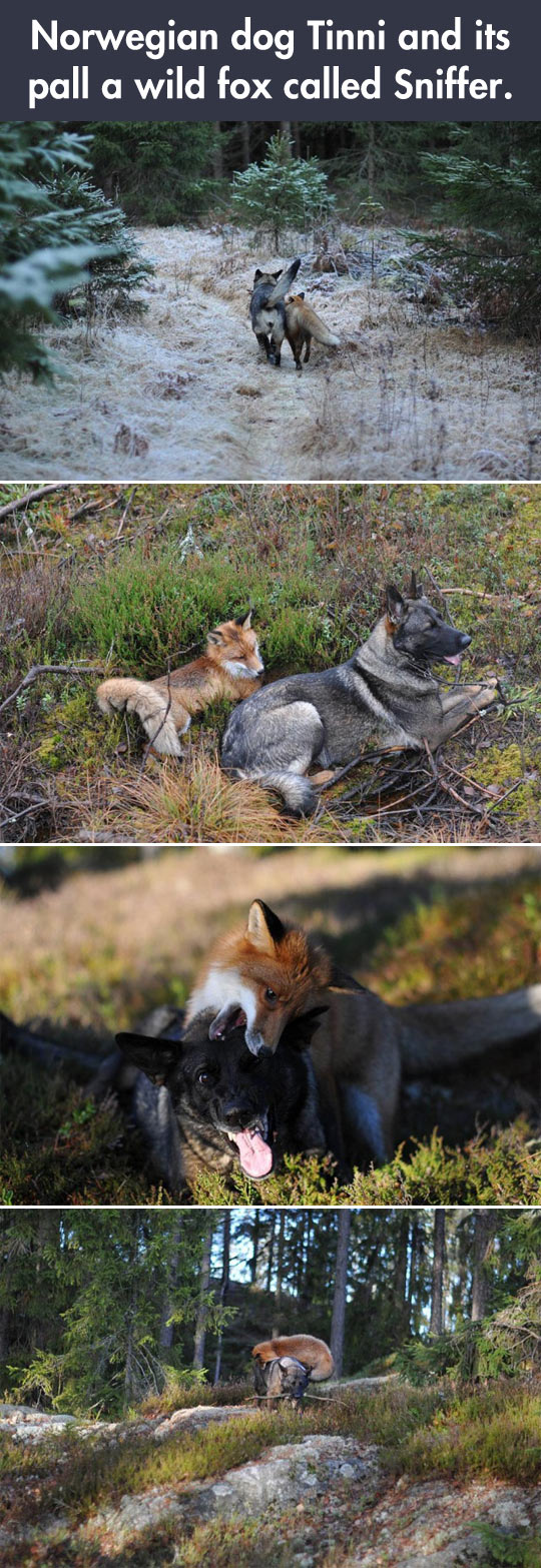 Fox And Dog Are Best Palls