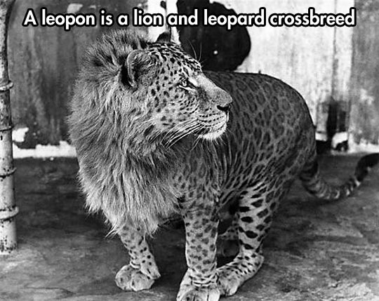 cool-funny-leopon-lion-leopard