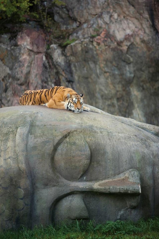 A tiger resting on Buddha's head…